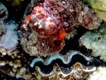 Octopus hides on Clam - Taha'a Reef