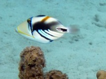 Picasso Fish Taha'a Reef