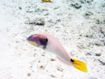 Wrasse - Huanine Island