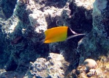 Needle Nose Butterfly Fish - Moorea