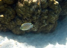 Ornate butterfly fish - Taha'a Reef